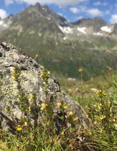 Světlík horský v nadmořské výšce nad 2 000 m